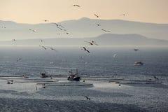 Gabbiani che sorvolano le gabbie del pesce Fotografie Stock