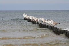 Gabbiani che stanno in una fila sui pali del frangiflutti immagine stock