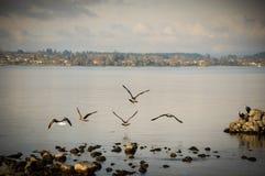 Gabbiani che volano con le ali aperte in cielo blu, Nuova Zelanda Fotografia Stock