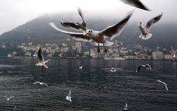 Gabbiani che volano con le ali mobili Immagini Stock Libere da Diritti