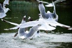 Gabbiani che volano e che atterrano nello stagno Fotografia Stock