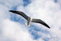Gabbiani che volano nel cielo Immagine Stock