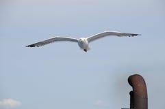 Gabbiani che volano nel cielo Immagini Stock Libere da Diritti