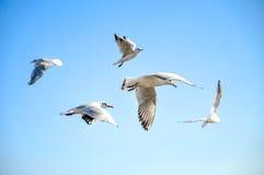 Gabbiani che volano nel cielo Fotografie Stock