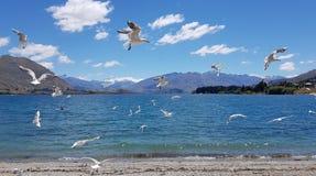 Gabbiani che volano sulla riva del lago Wanaka, Nuova Zelanda fotografia stock libera da diritti