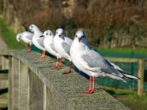 Gabbiani comuni tutti in una fila Immagini Stock