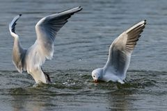 Gabbiani con testa nera che si tuffano nell'acqua del lago per pane fotografia stock libera da diritti