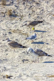 Gabbiani d'argento sulla spiaggia rumena fotografia stock libera da diritti