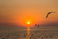 Gabbiani dalla testa Brown volanti alla cacca di colpo, provincia di Samut Prakarn, Tailandia durante il tramonto Immagini Stock