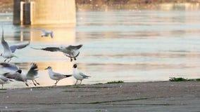 Gabbiani del Danubio che pilotano e che muovono intorno litorale archivi video