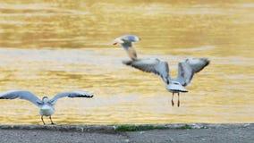 Gabbiani del Danubio che pilotano e che muovono intorno litorale nel tramonto stock footage