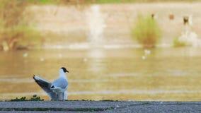 Gabbiani del Danubio che pilotano e che muovono intorno litorale nel tramonto archivi video