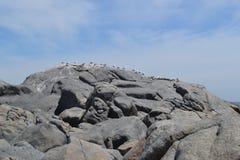 Gabbiani del parco nazionale della costa ovest Fotografie Stock Libere da Diritti