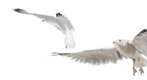 Gabbiani di aringhe europei, argentatus del Larus Immagini Stock