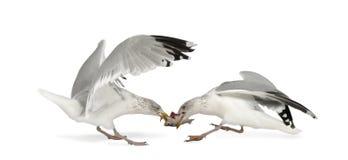 Gabbiani di aringhe europei, argentatus del Larus Immagini Stock Libere da Diritti