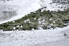 Gabbiani di inverno Fotografia Stock Libera da Diritti