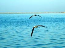 Gabbiani di mare Fotografie Stock