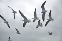 Gabbiani di mare Fotografie Stock Libere da Diritti