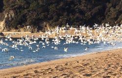 Gabbiani di mare Immagini Stock
