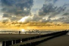 Gabbiani di mare d'alimentazione in Domburg intorno al tramonto Immagine Stock