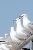 Gabbiani di mare gemellare su una rete fissa Fotografie Stock Libere da Diritti