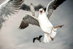 Gabbiani di mare nell'azione Immagini Stock Libere da Diritti