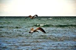 Gabbiani di mare sopra il mare Fotografia Stock
