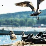 Gabbiani di mare di volo Fotografie Stock Libere da Diritti