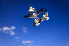 Gabbiani di risata Fotografia Stock