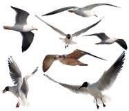 Gabbiani di volo Immagini Stock