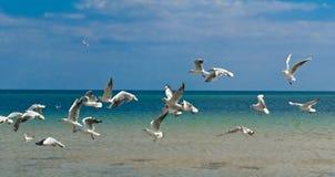 Gabbiani di volo Immagini Stock Libere da Diritti