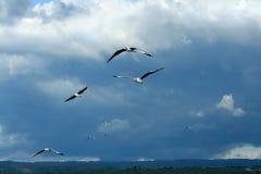 Gabbiani di volo Fotografie Stock Libere da Diritti
