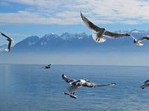 Gabbiani di volo Immagine Stock