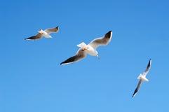 Gabbiani di volo in cielo blu Fotografia Stock Libera da Diritti