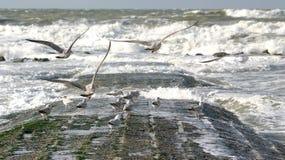 Gabbiani di volo e mare selvaggio Fotografia Stock Libera da Diritti