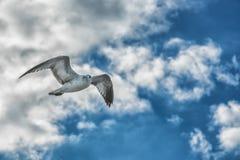 Gabbiani di volo nel primo piano del cielo blu Fotografie Stock Libere da Diritti