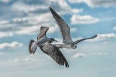 Gabbiani di volo nel primo piano del cielo blu Fotografia Stock