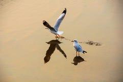 Gabbiani di volo nell'azione a Bangpoo Fotografie Stock