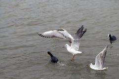 Gabbiani di volo sopra il mare immagini stock