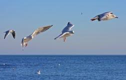 Gabbiani durante il volo Fotografie Stock