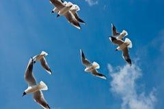 Gabbiani durante il volo Fotografia Stock Libera da Diritti