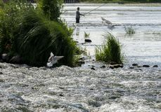Gabbiani e un pesce del fermo del pescatore fotografia stock libera da diritti