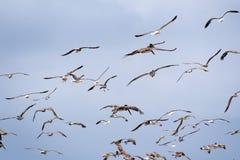 Gabbiani e volo marrone dei pellicani della costa dell'oceano Pacifico; fondo del cielo blu fotografie stock