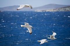 Gabbiani in Grecia Fotografia Stock Libera da Diritti