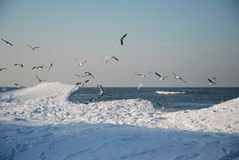 Gabbiani in inverno Fotografie Stock