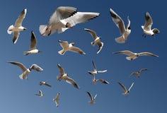 Gabbiani isolati sull'azzurro Fotografia Stock