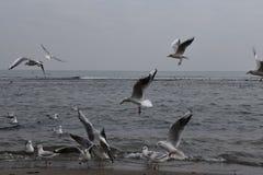 Gabbiani a Mar Nero, tempo grigio, volo fotografia stock libera da diritti