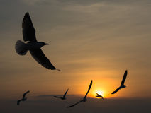 Gabbiani migratori Immagine Stock