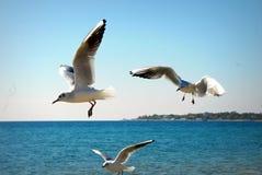Gabbiani nel Mar Nero Immagine Stock