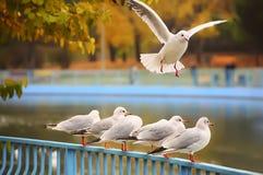 Gabbiani nel parco di autunno Fotografie Stock Libere da Diritti